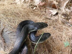 Black Rat Snake aka Pantherophis Obsoletus and a Baby Chipmunk